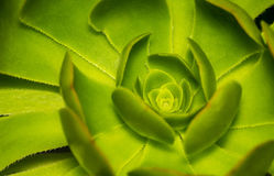 Hen and Chicks or Rosette or Stone Lotus or Succulent Plants clo Stock Photos
