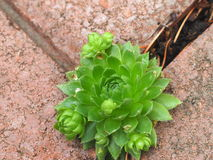 Hen And Chicks Or Sempervivum Fotos de Stock Royalty Free