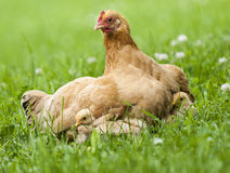 Hen and Chicks Royalty Free Stock Photo