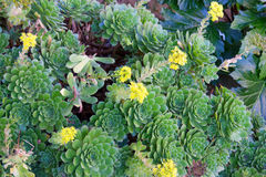 Hen and Chicks succulents Royalty Free Stock Image