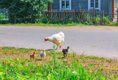 Hen with chicks walks in the country yard Stock Photo