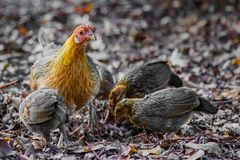 Hen and Chicks. A wild hen with her chicks foraging in the forest stock image
