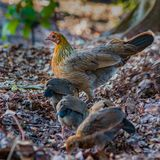 Hen and Chicks. A wild hen with her chicks foraging in the forest royalty free stock photography