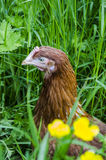 Hen close up. Close up detail of a rhode island red Stock Image