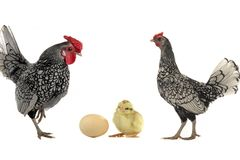 Hen and cock Stock Image