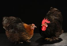 Hen and cock Royalty Free Stock Photo