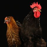 Hen and cock Stock Images