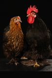 Hen and cock Royalty Free Stock Image