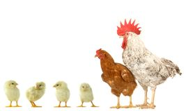 Hen and cock Stock Photography