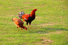 Hen and. Chicken, hen and cock, on green field in evening royalty free stock photo