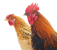 Hen and cock. Stock Photography