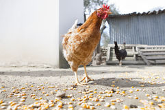 Hen and corn Royalty Free Stock Photo