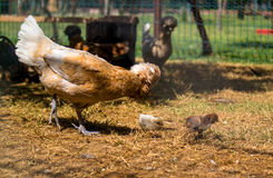 Hen with crest and two chicken Royalty Free Stock Photography