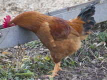 Hen drinking  in the farm Royalty Free Stock Photography