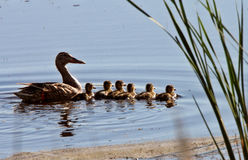 Hen and ducklings Royalty Free Stock Images
