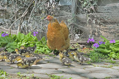 Hen with ducklings  Royalty Free Stock Photos