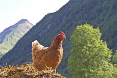 Hen on a dung heap Royalty Free Stock Photography