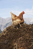 Hen on dungpile. Free range chicken on dunghill at mountain farm in Austria Stock Images