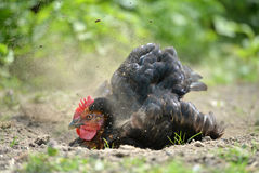 Hen dust bath. Domestic chicken having a dust bath to keep healthy Royalty Free Stock Image
