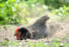 Hen dust bath royalty free stock photo