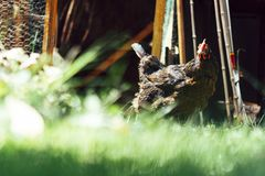 Hen eating corn and grass royalty free stock image