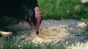 Hen eating corn and grass. In a garden of house stock video footage