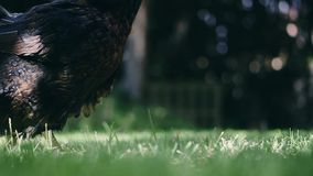 Hen eating corn and grass. In a garden of house stock footage