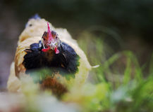 Hen eating in a country garden Stock Images