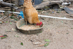 Hen eating food Royalty Free Stock Image