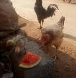 Hen eating water melon. All natural pic Royalty Free Stock Images