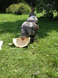 Hen Eating Watermelon Photo stock