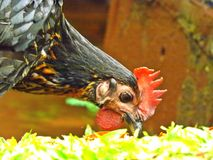 Hen eating worm Royalty Free Stock Photos