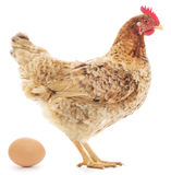 Hen and Egg Stock Image