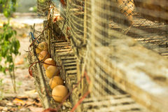 Hen Eggs In The Gathering Channel Royalty Free Stock Images