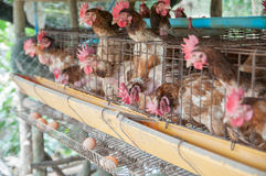 Hen and eggs Stock Photography