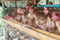 Hen and eggs Stock Images