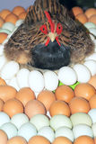 Hen and eggs Stock Image