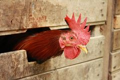 Hen enclosed in a wooden box. Hen enclosed in a wooden box looking outside and waiting to be fed Royalty Free Stock Photography
