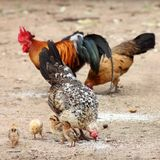 Hen,  family, chicken,  chick Royalty Free Stock Photography