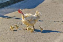 Hen Family Crossing the Street. Hen family crossing empty asphalt street Stock Image