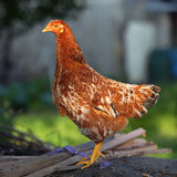 Hen in farm Royalty Free Stock Photos