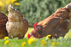 Hen in the farm Royalty Free Stock Photography