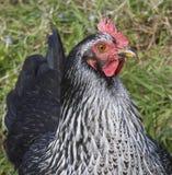 Hen in the farm Royalty Free Stock Photos