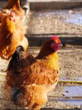 Hen farm free range Stock Images