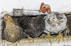 Hen at farm nesting together, good layers, featherless. Some good layers at a bio farm in transylvania, Brasov county, Romania, getting ready for the sleep Royalty Free Stock Photo