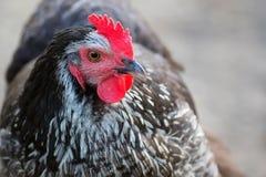 Hen on the farm Royalty Free Stock Photo
