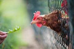 Hen in a farmyard. (Gallus gallus domesticus Stock Images