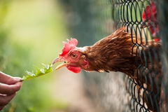 Hen in a farmyard Royalty Free Stock Photos