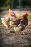 Hen in a farmyard. (Gallus gallus domesticus Stock Photo