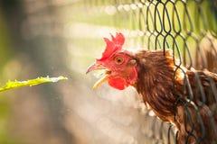 Hen in a farmyard. (Gallus gallus domesticus Stock Photos